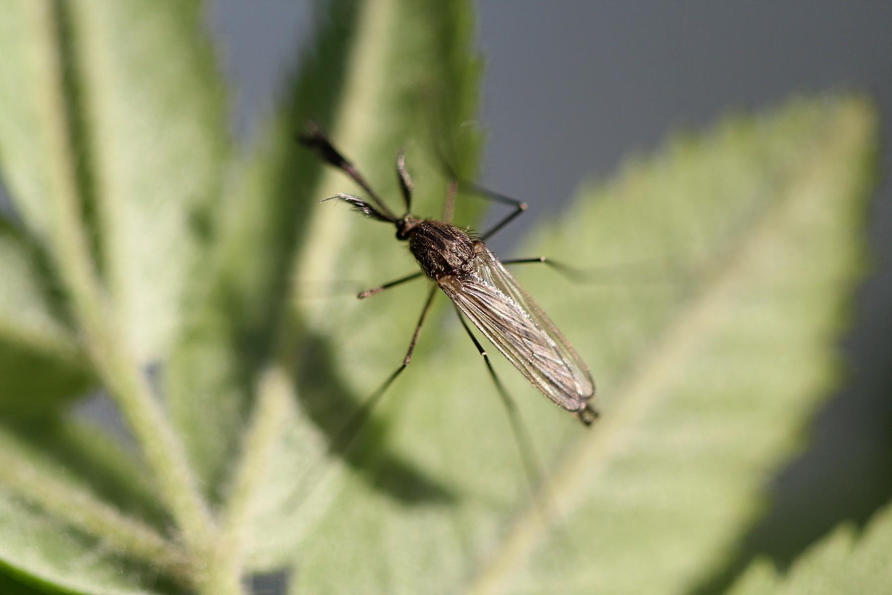 как выглядит самец комара фото доступны