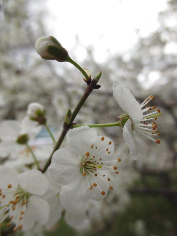 Белое Древо в цвету