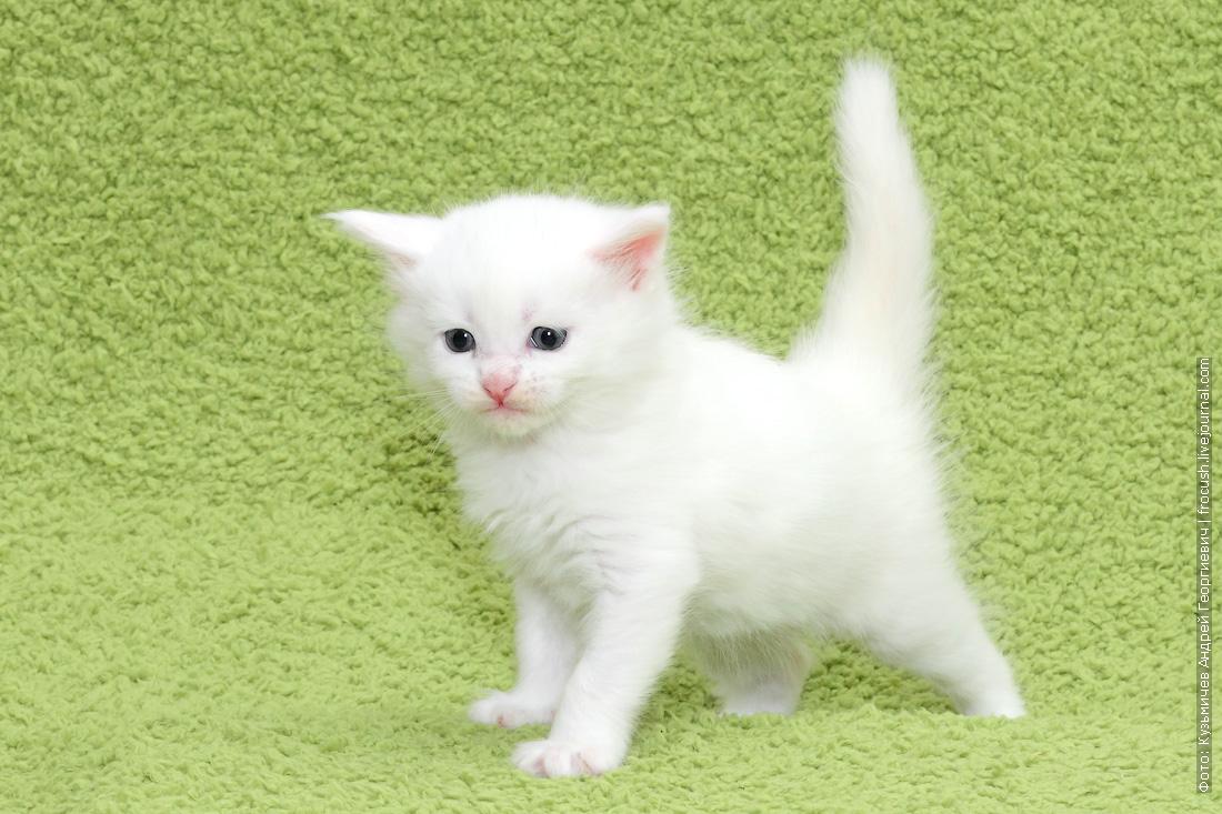 белого котенка Мейн-кун купить в Москве