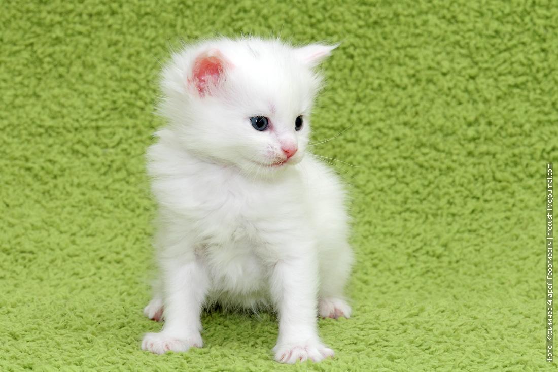 купить белого котенка Мейн-кун
