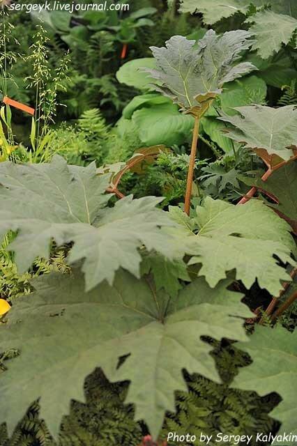 Rheum palmatum Tanguticum.JPG