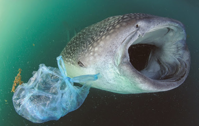 whale shark and its potential plastic food-Thomas Peschak..jpg