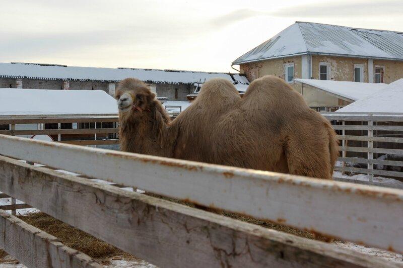 Верблюд в монастырском зверинце