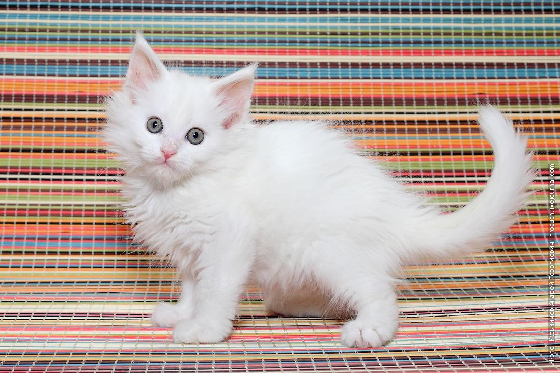 Мейн-кун котенок продажа в Москве