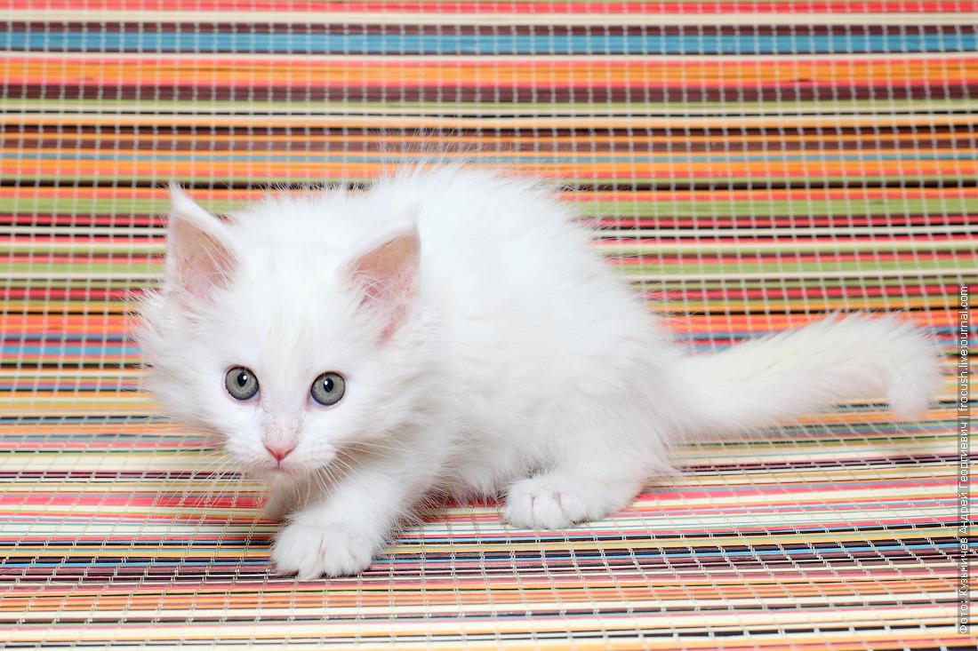 купить в Москве Мейн-кун котенок