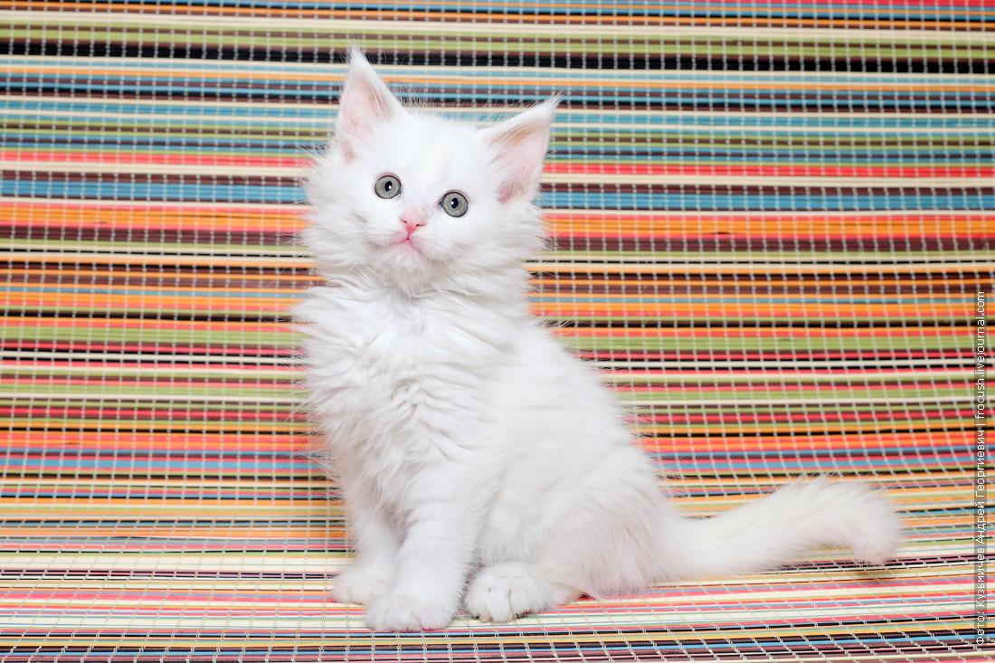 продажа Мейн-кун котенок
