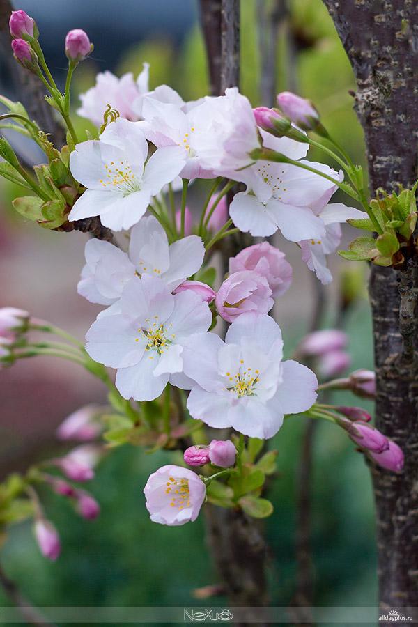 Я люблю все цветы, выпуск #100 | «Сакура - традиционный символ женской молодости и красоты».