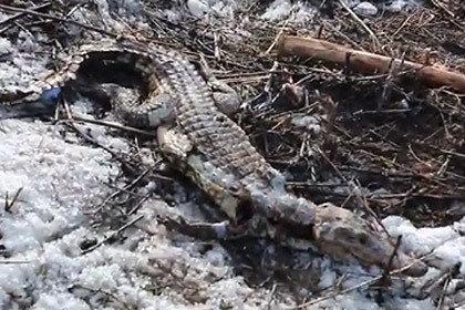 Чебоксарские школьники обнаружили мертвого крокодила