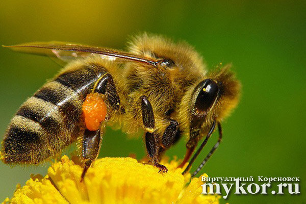 Африканская медоносная пчела гибрид Apis Mellifera scutellata фото