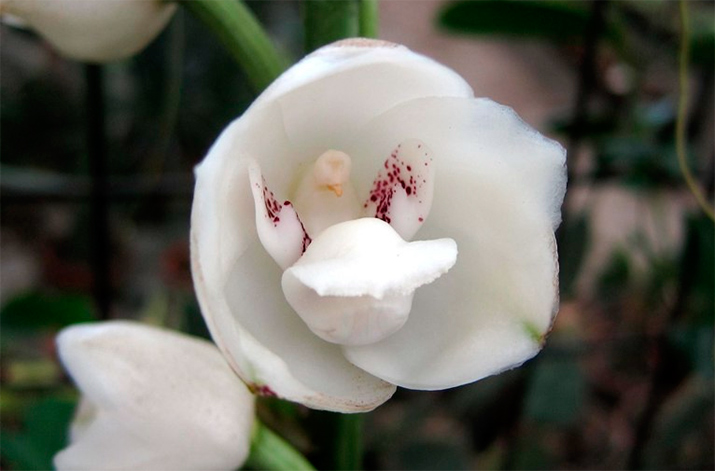 Удивительные орхидеи - голубь (Peristeria Elata)