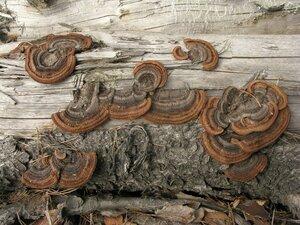 Заборный гриб (Gloeophyllum sepiarium)