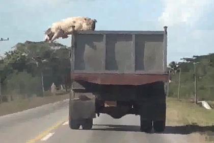 От мясников в неизвестном направлении скрылись китайская и южноамериканская свиньи