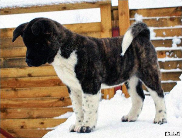 Большая Японская собака Американская акита