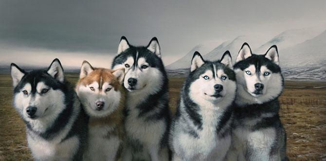 Сибирские хаски.