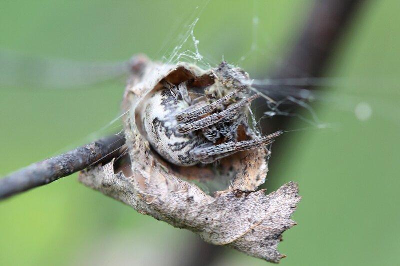 Паук в коконе из сухого листочка ждет добычи, держа одной лапкой сигнальную нить