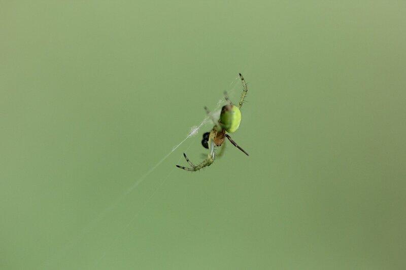 Зелёный паук, висящий на почти невидимой паутине