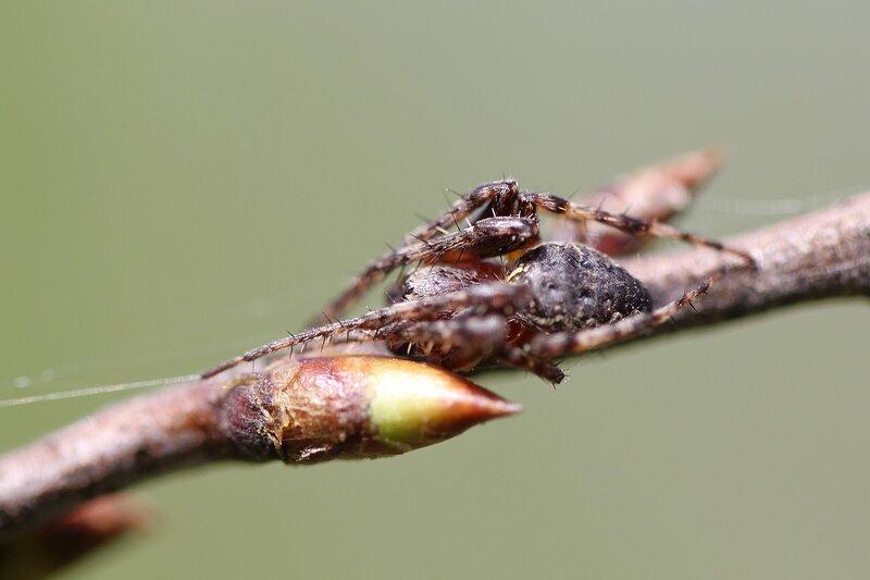 Паук на веточке дерева между почками, держащий сигнальную нить паутины