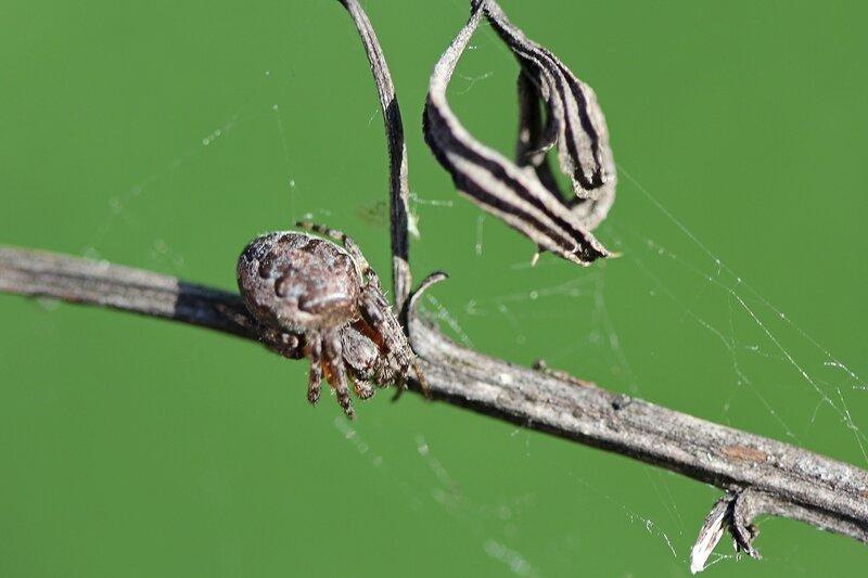 Паук в засаде на сухой веточке растения рядом со своей паутиной