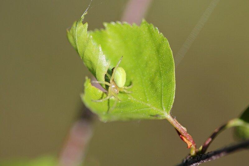 Светло-зелёный паук на берёзовом листочке