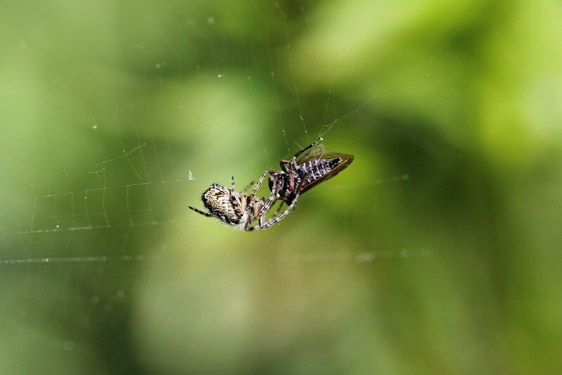 Паук, расправляющийся с цикадой, попапвшей в его паутину