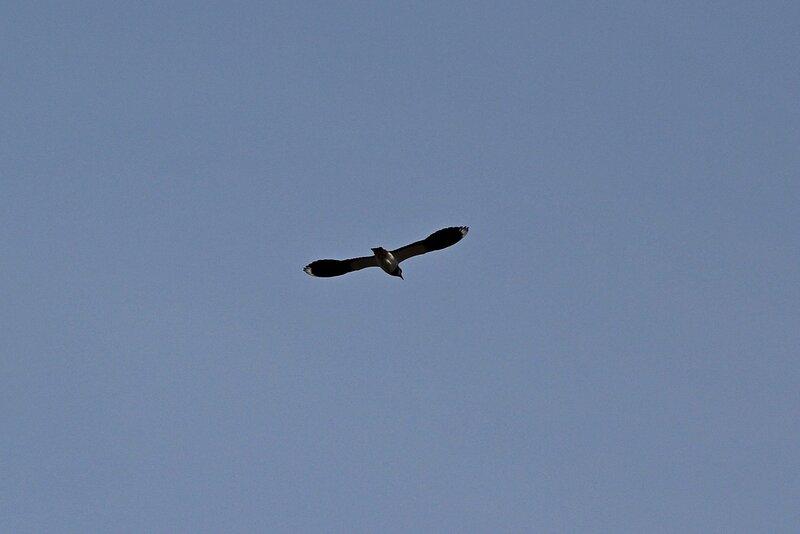 Полёт чибиса (Vanellus vanellus) над разлившейся рекой