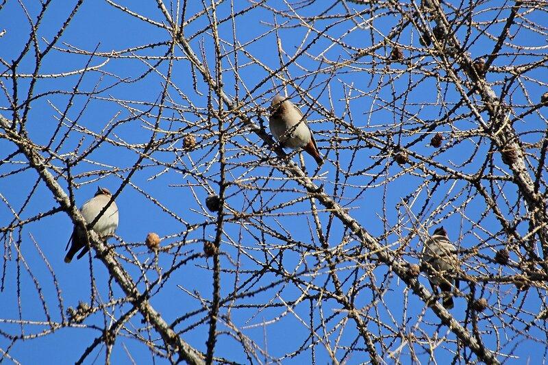 Свиристели (Bombycilla garrulus) на лиственнице в Гагаринском парке