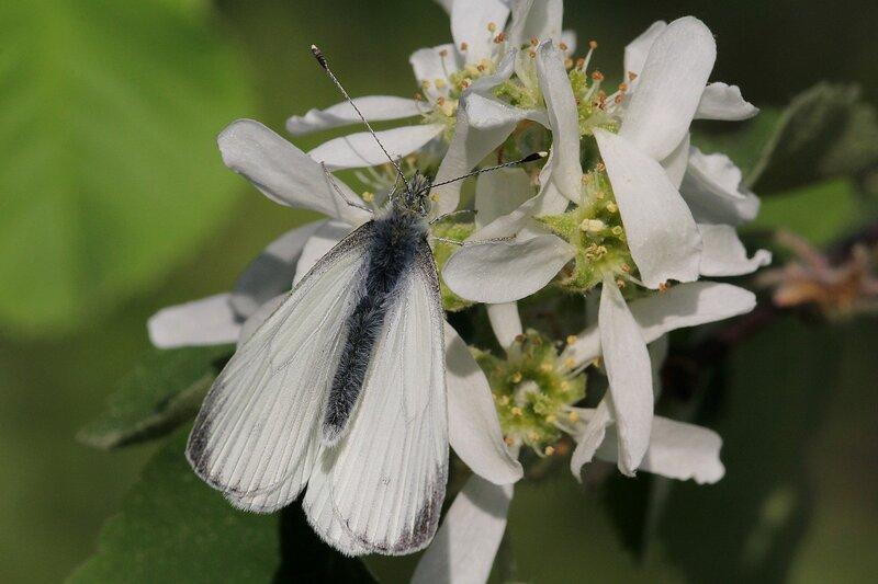 Бабочка брюквенницы (белянка брюквенная, лат. Pieris napi) на цветках ирги