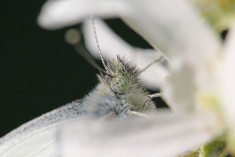 голова и глаз бабочки брюквенницы (белянка брюквенная, лат. Pieris napi)