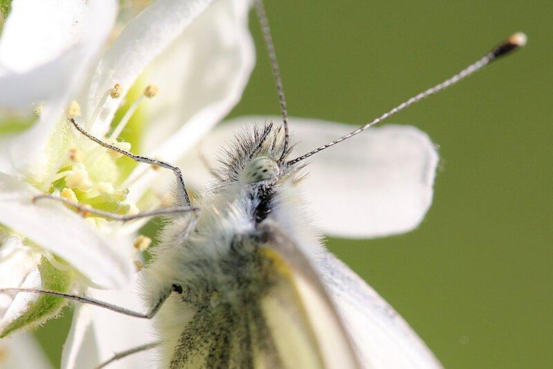 голова, антенны и глаз бабочки брюквенницы (белянка брюквенная, лат. Pieris napi)