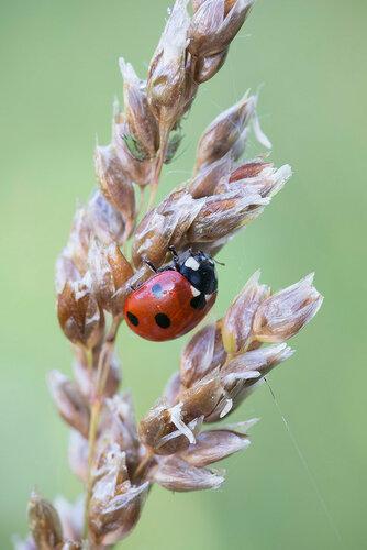 Коровка семиточечная (Coccinella septempunctata) Автор фото: Владимир Брюхов