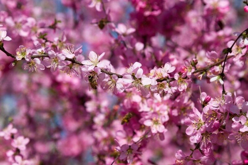 Розовый цвет, парк Сяншань, Пекин