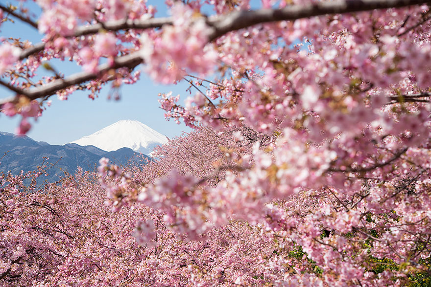 фото цветения сакуры