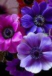 anemone,+pink,+purple,+flower,+macro.jpg