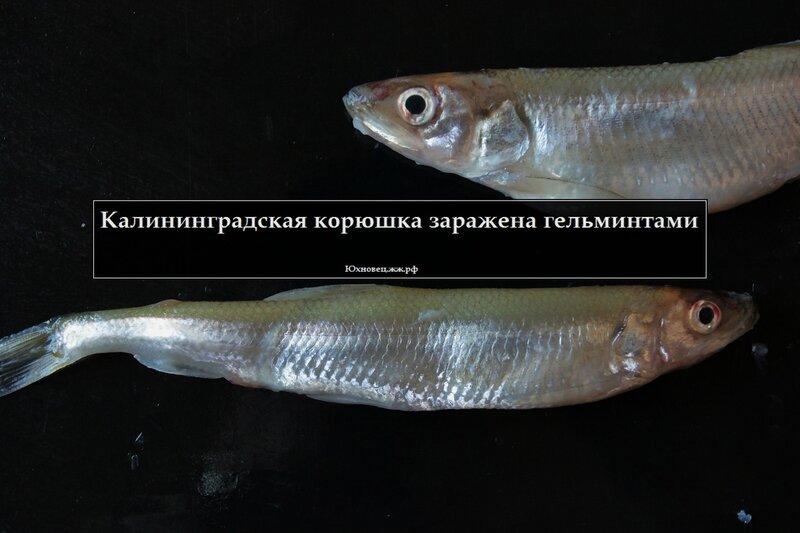 паразиты в судаке опасные для человека фото