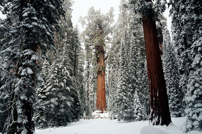 Гигантская секвойя в парке Калифорнии