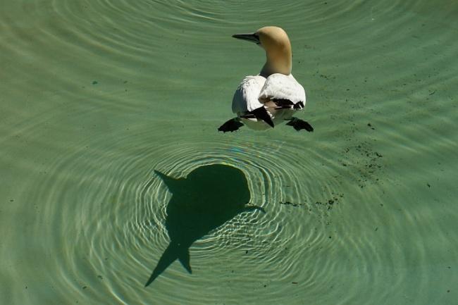 утка на воде и тень