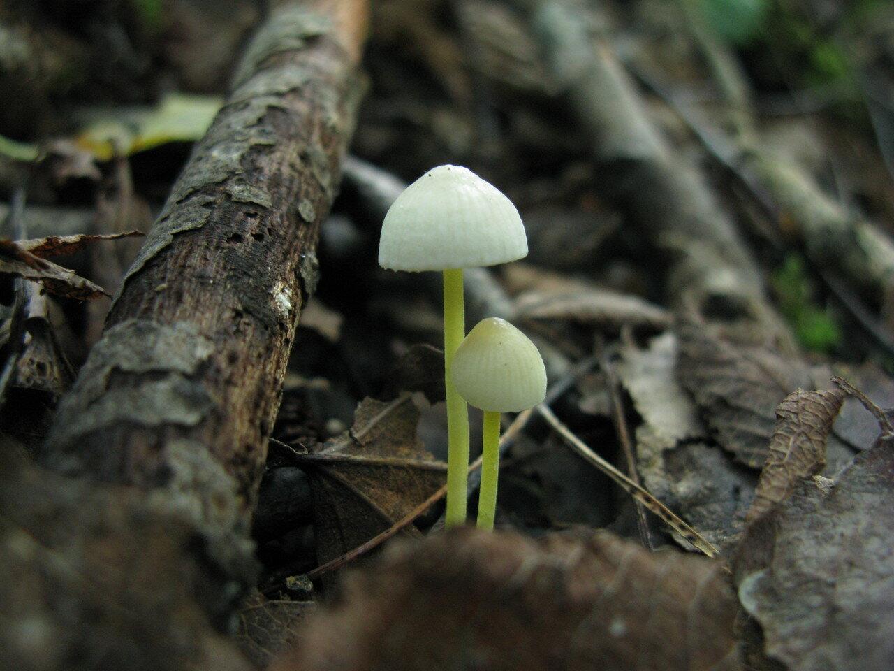 Мицена слизистая (Mycena epipterygia) Автор фото: Станислав Кривошеев