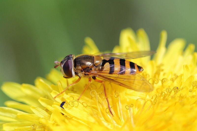 Муха-журчалка (лат. Syrphidae) на цветке одуванчика