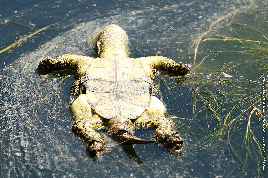 черепаха каньон Саура