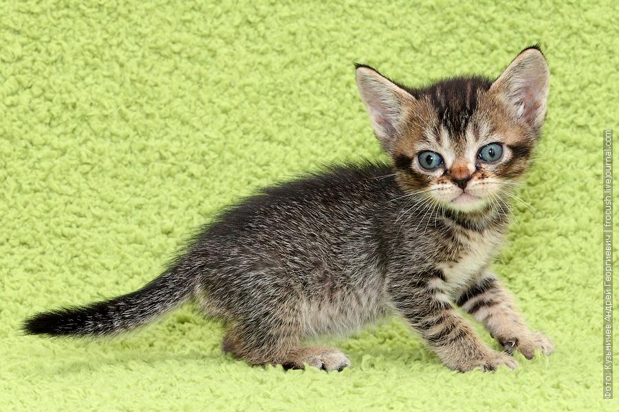 Бомбейские котята из питомника в Москве продажа