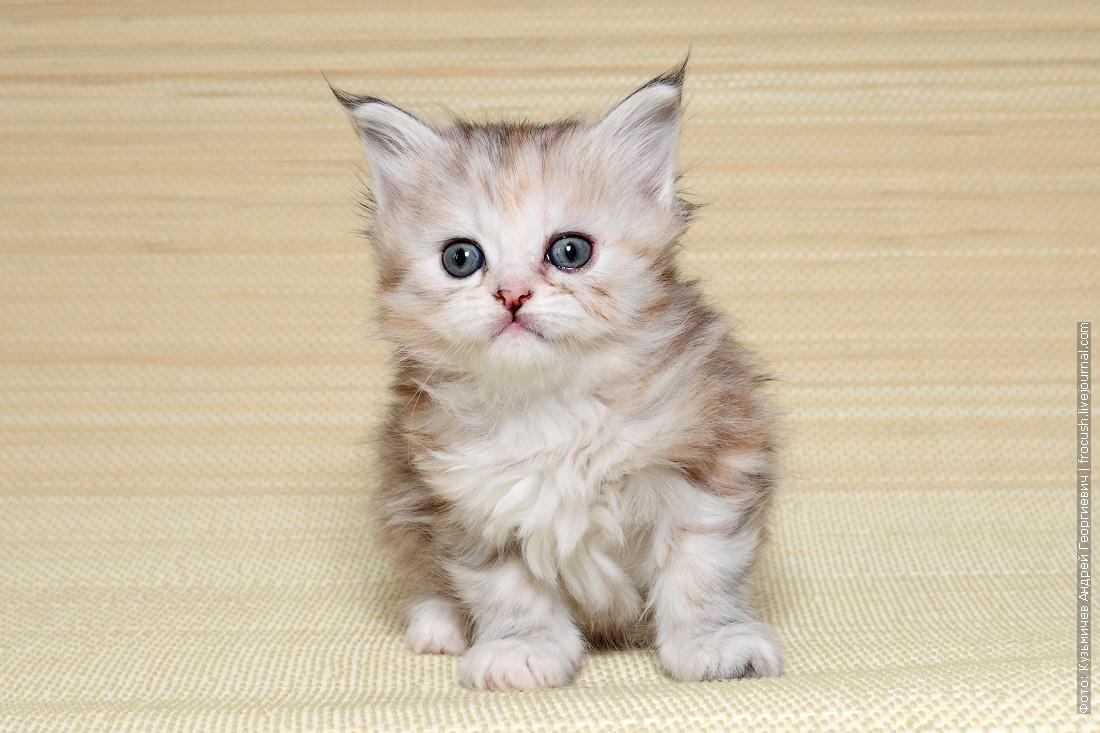 продажа цена в Москве котенок мейн кун