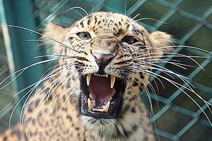Леопард укусил за ягодицу жителя Индии