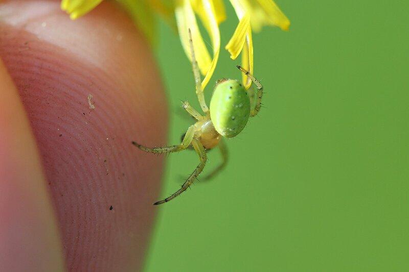 Зелёный паук из семейства пауков-кругопрядов, вероятно, Араниелла Тыквообразная (Araniella cucurbitina) нападает или просто пытается познакомиться с человеческим пальцем