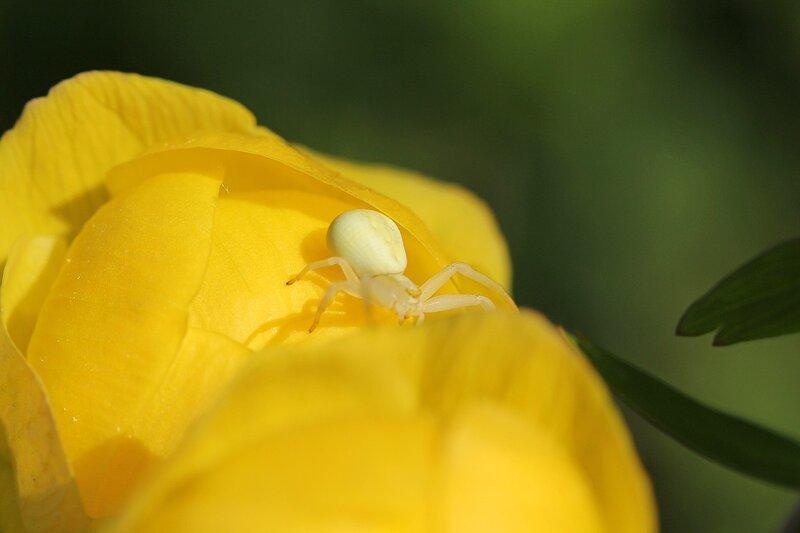 Цветочный паук из семейства пауков-бокоходов (Thomisidae) - Мизумена косолапая (Misumena vatia), самка бледно-жёлтого цвета на цветке купальницы