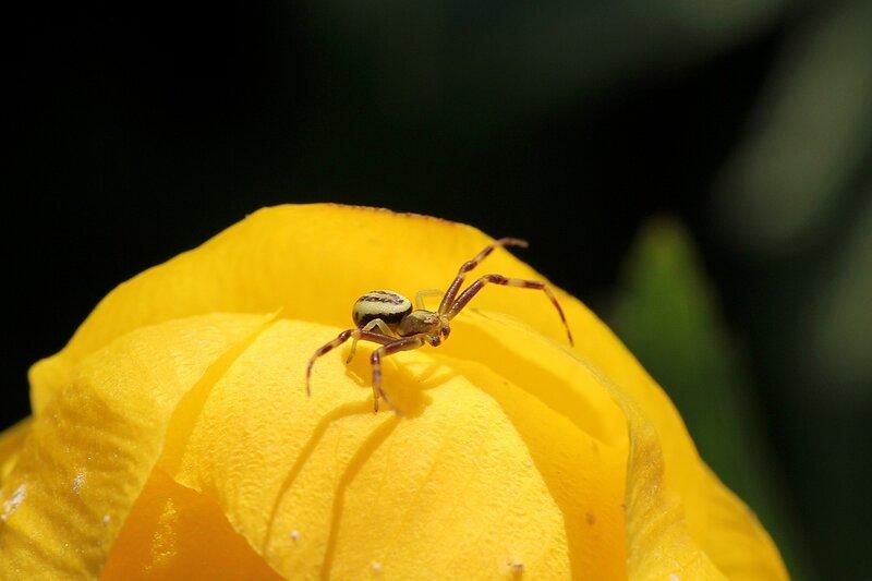 Мизумена косолапая (Misumena vatia), цветочный паук из семейства пауков-бокоходов (Thomisidae), самец с тёмно-полосатыми лапками и двумя коричневыми полосами на светлом брюшке на цветке купальницы