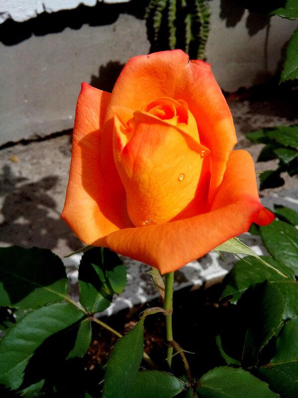 Роза-18.jpg