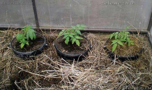 Выращиваем ранние тепличные томаты