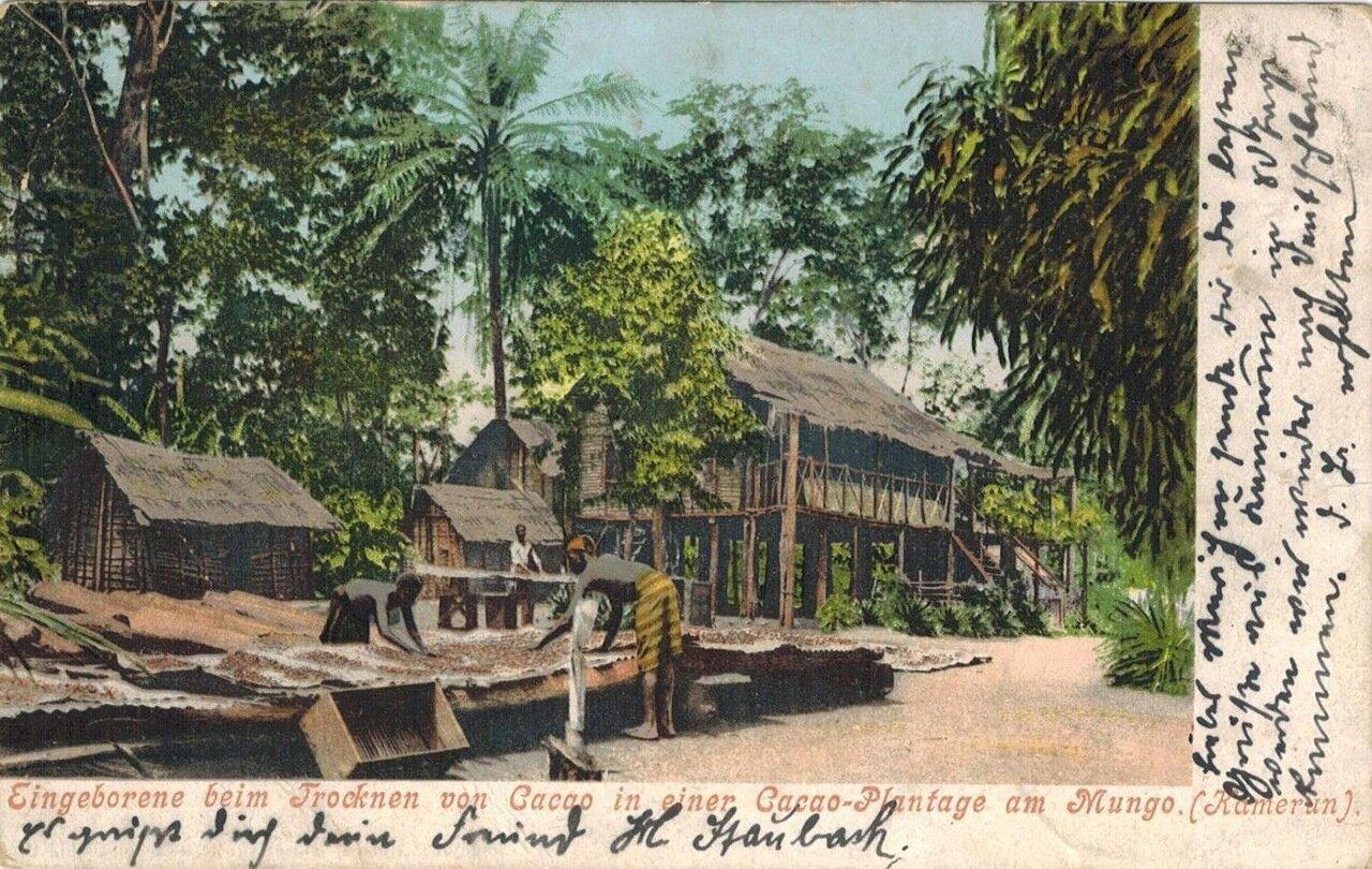 1900. Обработка какао в Мунго, Камерун. Немецкая Западная Африка