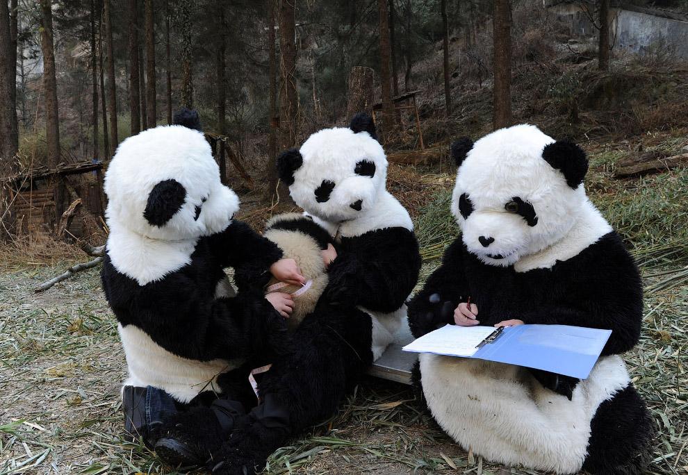7. С пандами здесь возятся, как с маленькими детьми. (Фото China Photos):