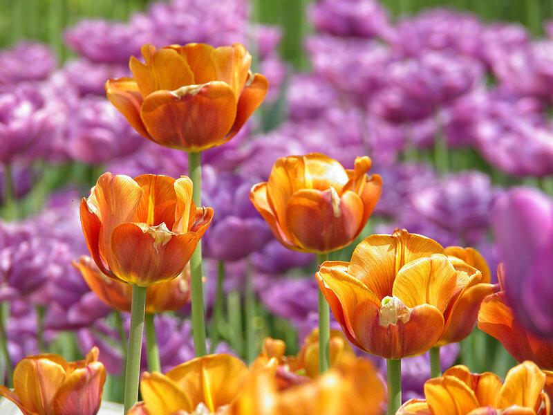 Ах тюльпаны нежные цветы! Тюльпановое великолепие